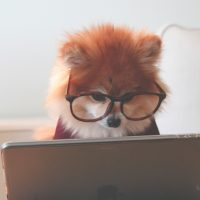 A small fluffy dog wearing large red glasses and a little red sweater stares at an apple laptop screen very seriously